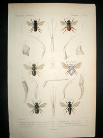 Cuvier C1840 Antique Hand Col Print. Insects 127